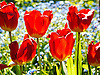 The tulip is a Eurasian and North African genus of perennial, bulbous plants in the lily family. It is a herbaceous herb with showy flowers, of which around 75 wild species are currently accepted.<br />