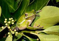 1218-1016  American Green Treefrog Sitting in Bush, Hyla cinerea  © David Kuhn/Dwight Kuhn Photography
