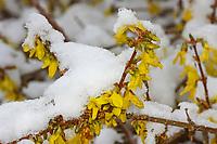 Forsythie, Blüten bei Schnee, Goldglöckchen, Hybrid-Forsythie, Garten-Forsythie, Forsythia x intermedia, border forsythia, Le Forsythia hybride, Forsythia de Paris, Ziergehölz