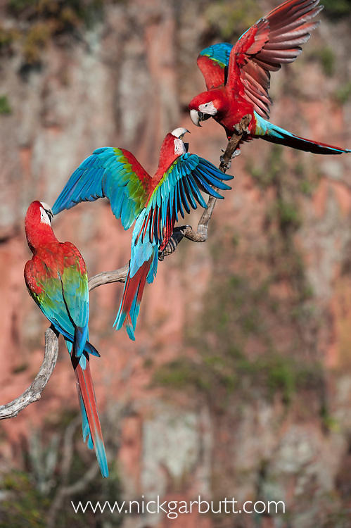 Red-and-Green Macaws or Green-winged Macaws (Ara chloropterus) (Family Psittacidae). Buraco das Araras (Sinkhole of the Macaws), Jardim, Mato Grosso do Sul, Brazil. September.