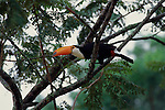 A Toco Toucan perches on a branch.