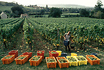 Grape picking English vineyards North Wootton Somerset 1980s UK 1989