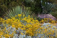 Encellia farinosa, Brittlebush flowering California native shrub in Santa Barbara Botanic Garden