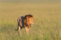 Huge male Lion (Panthera leo), belly full of Cape Buffalo killed by the pride overnight, searches the Mara for water