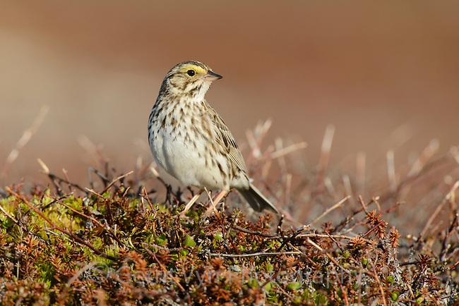 Savannah Sparrow (Passerculus sandwichensis). Yukon Delta National Wildlife Refuge, Alaska. June.