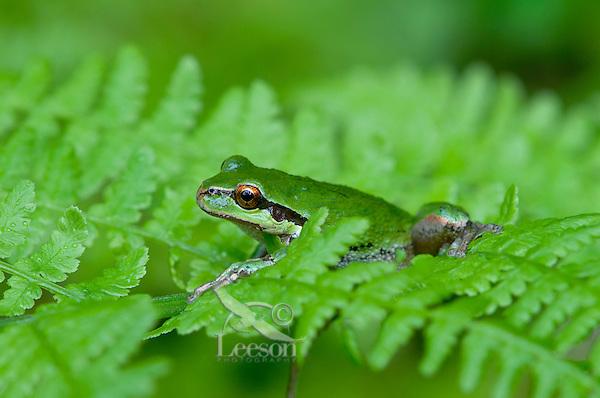 Pacific Tree Frog (Pseudacris regilla) sitting on bracken fern.  Pacific Northwest.  May.