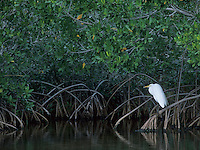 Great Egret, Ardea alba, adult on Manrove tree, Ding Darling National Wildlife Refuge, Sanibel Island, Florida, USA, Dezember 1998
