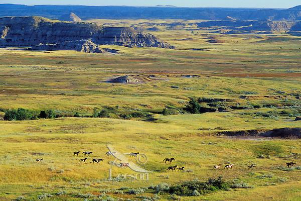 WH73  Wild Horses, Theodore Roosevelt Nat. Park, North Sakota. Summer.  (Equus caballus)