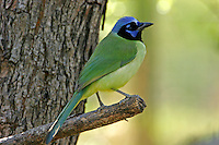 Adult green jay