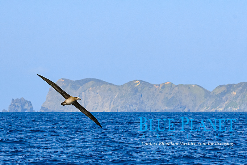 Black-footed albatross, Phoebastria nigripes, Diomedea nigripes, Hahajima, Ogasawara or Bonin Island, Tokyo, Japan, Pacific Ocean