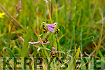 The rare orchid on the Tralee/Listowel bypass on Tuesday