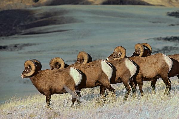 Bighhorn Sheep Rams in early November, Montana-Wyoming