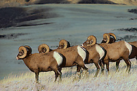 Bighhorn Sheep Rams in early November, Montana-Wyoming