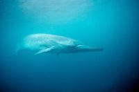 Bryde's whale, Balaenoptera edeni, Mexico, Pacific Ocean