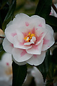 Camellia japonica 'Lady Vansittart', later March.