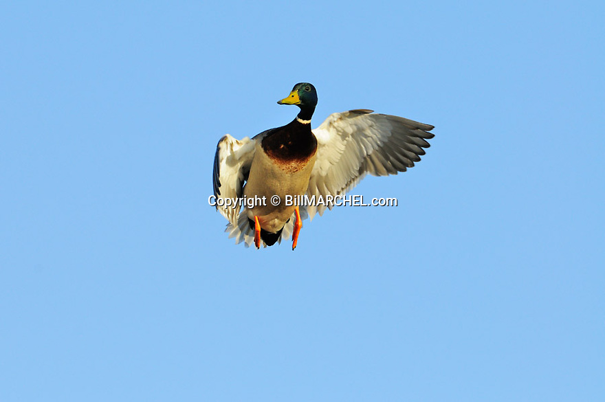 00330-084.10 Mallard Duck drake in flight is coming  in for a landing.  Hunt, fly, action, waterfowl, greenhead.
