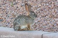 0228-1205  Desert Cottontail Rabbit (Audubons Cottontail), Sylvilagus audubonii  © David Kuhn/Dwight Kuhn Photography