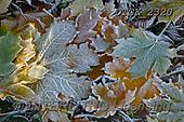 Gisela, STILL LIFE STILLEBEN, NATURALEZA MORTA, photos+++++,DTGK2320,#i#, EVERYDAY ,leaves,winter,hoarfrost