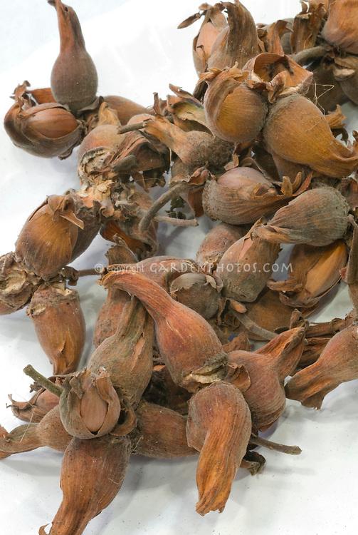 Corylus maxima Filbert nuts on white background