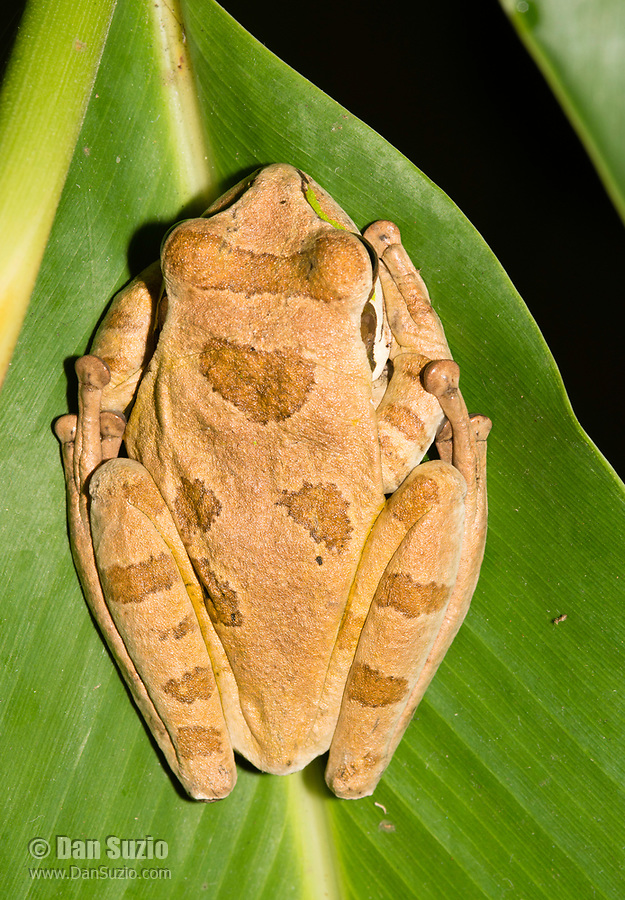 Masked Treefrog, Smilisca phaeota, in Arenal Volcano National Park, Costa Rica. Also called the New Granada Cross-banded Treefrog.