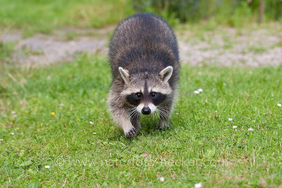 "Waschbär, etwa 4 Monate altes Jungtier, Tierkind, Tierbaby, Tierbabies, Männchen, Rüde, Waschbaer, Wasch-Bär, Procyon lotor, Raccoon, Raton laveur, ""Frodo"""