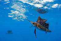 Atlantic sailfish, Istiophorus albicans, attacking bait ball of Spanish sardines (aka gilt sardine, pilchard, or round sardinella), Sardinella aurita, off Yucatan Peninsula, Mexico (Caribbean Sea) #2 in sequence of 3 images