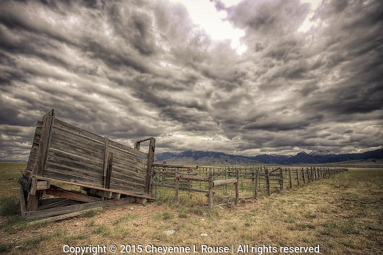 Cattle shoot - Montana