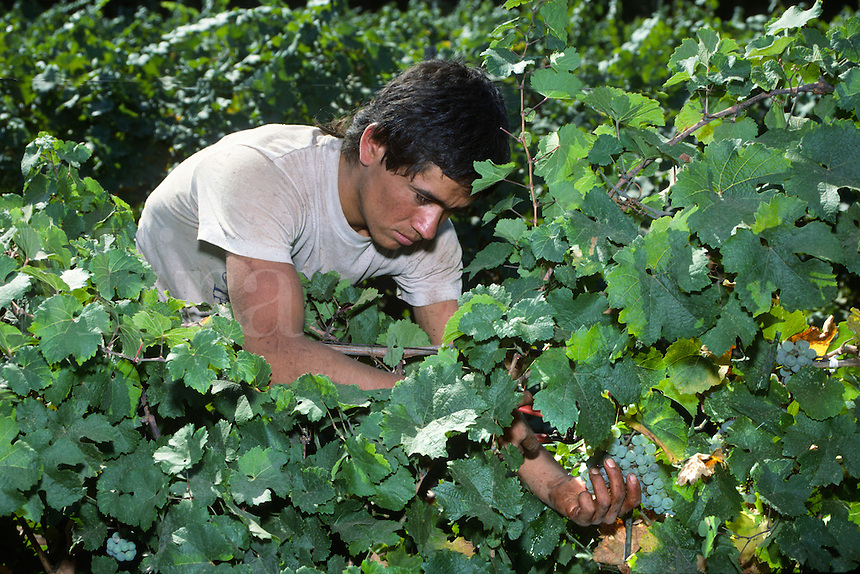 Worker picking CHARDONNAY GRAPES on the vine at MADRONA VINEYARDS - CAMINO, CALIFORNIA