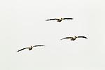 American White Pelican (Pelecanus erythrorhynchos) trio flying, Elkhorn Slough, Monterey Bay, California