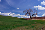 Old oak standing between wheat fields in the Palouse Hills, Washington, near the towns of Colfax and Pullman at the base of Steptoe Butte