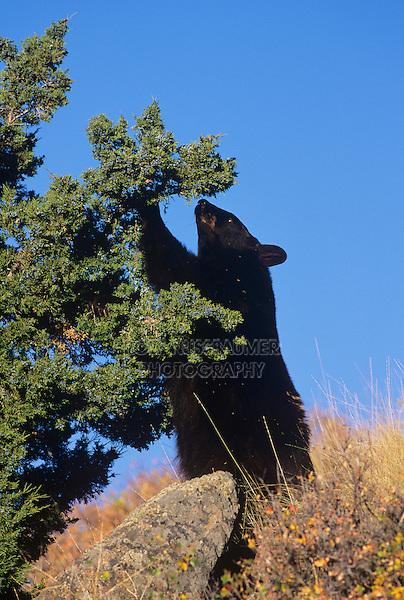 Black Bear (Ursus americanus), adult eating juniper berries, Yellowstone National Park, USA