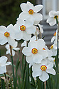 Narcissus 'Actaea', late April.