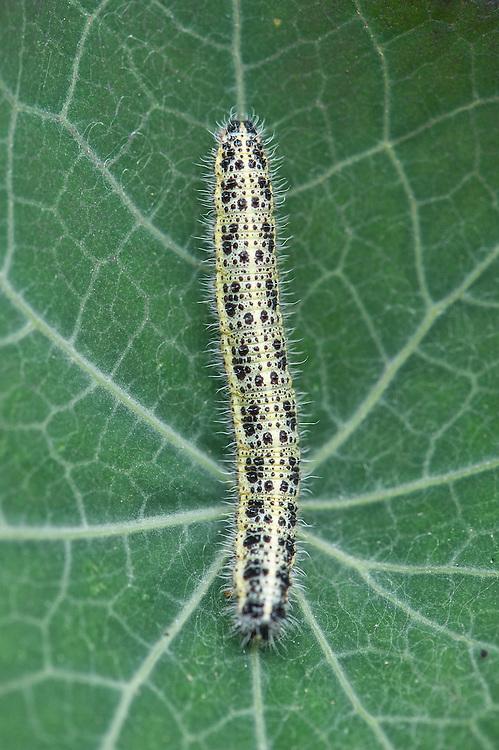 Large white butterfly caterpillar (Pieris brassicae) on nasturtium leaf, late August.
