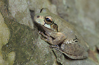 Mexican Treefrog, Smilisca baudinii, adult on Tree Bark, The Inn at Chachalaca Bend, Cameron County, Rio Grande Valley, Texas, USA