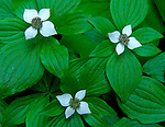 Olympic National Forest, WA   <br /> Detail of flowering bunchberry (Cornus canadensis) or dwarf dogwood with three blossoms