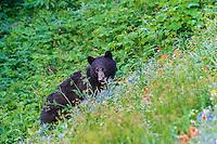 Black Bear (Ursus americanus) among subalpine wildflowers.  Pacific Northwest, summer.