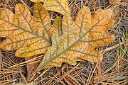 White Oak - Quercus alba - leafs on the ground during the autumn months in a New England USA forest