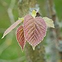New foliage of Asian hazel (Corylus heterophylla), early April.