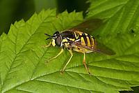 Gemeine Wespen-Schwebfliege, Gemeine Wespenschwebfliege, Weibchen, Chrysotoxum cautum