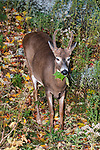 Whitetail Deer buck foraging on leaves during fall, vertical.