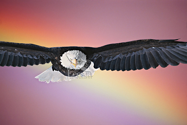 Bald Eagle/rainbow