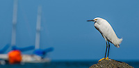 Fine Art Print, Photograph of a Snowy Egret captured in Sayulita Nayarit Mexico. This Egret was by the ocean looking for fish to catch.