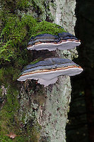 Echter Zunderschwamm, Zunderschwamm, Baumpilz, Fomes fomentarius, Tinder Fungus, Hoof Fungus, Tinder Conk, Tinder Polypore, Ice Man Fungus