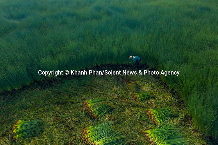 Farmers harvest huge piles of grass before they are made into environmentally friendly straws.  The crop, known as bang grass, is one metre (3ft 3ins) in length and workers must use sharp knives to cut through it.<br /> <br /> Aerial photographs of this bang grass farm in the Mekong Delta region of Vietnam show farmers cutting it, putting it in bundles and then transporting it to manufacturers.  SEE OUR COPY FOR DETAILS.<br /> <br /> Please byline: Khanh Phan/Solent News<br /> <br /> © Khanh Phan/Solent News & Photo Agency<br /> UK +44 (0) 2380 458800