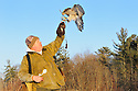 00432-029.14 Falconry: Falconer lures goshawk to glove with tidbit of food while on the hunt.  Hunt, raptor, prey, predator.