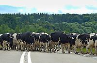 Dairy cows crossing a road, Scotland.