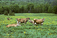 SH04-026z  Cow - herd of Jersey cows