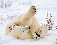 Polar bear, Ursus maritimus, Churchill, Manitoba, Canada, polar bear, Ursus maritimus