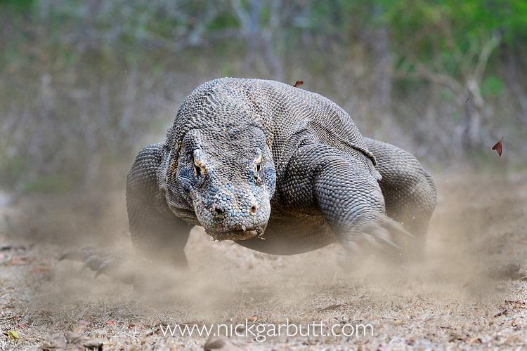 Large male Komodo dragon or Komodo monitor (Varanus komodoensis) running. Rinca Island, Komodo National Park, Indonesia. Endangered.