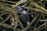 painted turtle hatchling hiding in weeds